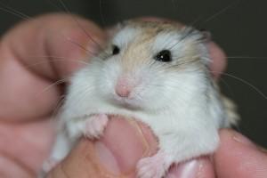 hamster-577257_640
